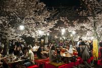 京都 円山公園の花見