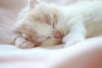 スコテッシュフォールドの仔猫