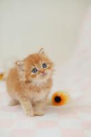 スコテッシュフォールドの子猫