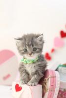 バレンタイン スコティッシュフォールド1