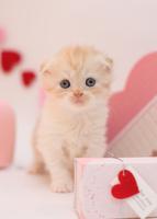 バレンタイン スコティッシュフォールド11