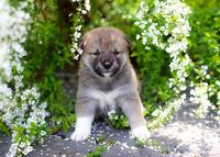柴犬 02673001183  写真素材・ストックフォト・画像・イラスト素材 アマナイメージズ