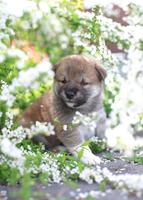 柴犬 02673001184  写真素材・ストックフォト・画像・イラスト素材 アマナイメージズ