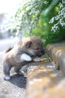 柴犬 02673001187  写真素材・ストックフォト・画像・イラスト素材 アマナイメージズ