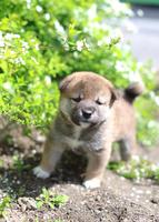 柴犬 02673001200| 写真素材・ストックフォト・画像・イラスト素材|アマナイメージズ