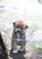柴犬 02673001201  写真素材・ストックフォト・画像・イラスト素材 アマナイメージズ