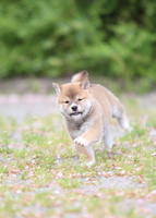 柴犬 02673001213  写真素材・ストックフォト・画像・イラスト素材 アマナイメージズ