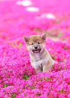 柴犬 02673001215  写真素材・ストックフォト・画像・イラスト素材 アマナイメージズ