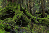 白駒の原生林