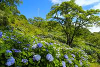 美の山公園のアジサイ