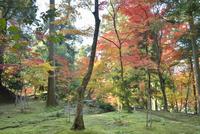 西明寺境内の苔と紅葉 02698000078  写真素材・ストックフォト・画像・イラスト素材 アマナイメージズ