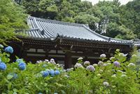 岩船寺本堂とアジサイ