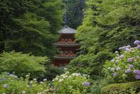岩船寺三重塔とアジサイ