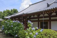 矢田寺本堂とアジサイ