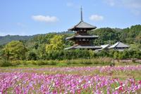 法起寺とコスモス畑 02698000187  写真素材・ストックフォト・画像・イラスト素材 アマナイメージズ