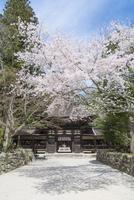 油日神社楼門と満開の桜