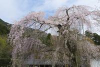 徳源院の道誉桜