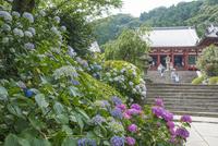 矢田寺本堂と参道のアジサイ