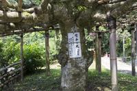 片桐且元お手植のモチノキ(宝厳寺)