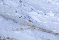 雪原のキタキツネ