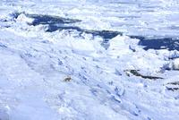 流氷とキタキツネ