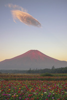 赤富士と百日草 02702000004| 写真素材・ストックフォト・画像・イラスト素材|アマナイメージズ