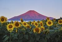 赤富士とヒマワリ 02702000033| 写真素材・ストックフォト・画像・イラスト素材|アマナイメージズ