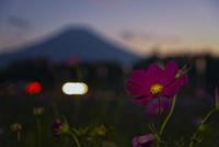 夕暮れの秋桜と富士山 02702000058| 写真素材・ストックフォト・画像・イラスト素材|アマナイメージズ