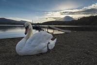 山中湖より望む夕方の富士山と白鳥