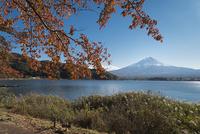 河口湖より望む富士山と紅葉した桜 02702000167| 写真素材・ストックフォト・画像・イラスト素材|アマナイメージズ