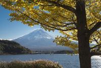 河口湖より望む富士山と黄葉した銀杏 02702000168| 写真素材・ストックフォト・画像・イラスト素材|アマナイメージズ