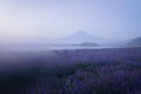 朝靄に包まれた河口湖より望むラベンダー畑と富士山 02702000172| 写真素材・ストックフォト・画像・イラスト素材|アマナイメージズ