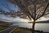 山中湖より望む富士山と桜の木と夕日 02702000220| 写真素材・ストックフォト・画像・イラスト素材|アマナイメージズ