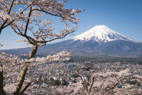新倉山浅間公園より望む富士吉田市街越しの富士山と桜 02702000225| 写真素材・ストックフォト・画像・イラスト素材|アマナイメージズ