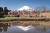 水を張った田植え前の田んぼに映る富士山と枝垂れ桜 02702000234| 写真素材・ストックフォト・画像・イラスト素材|アマナイメージズ