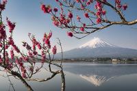 河口湖に映り込む富士山と花桃 02702000235| 写真素材・ストックフォト・画像・イラスト素材|アマナイメージズ