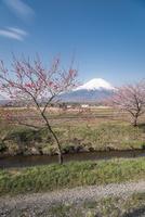 忍野村より望む富士山と桜と花桃 02702000254| 写真素材・ストックフォト・画像・イラスト素材|アマナイメージズ
