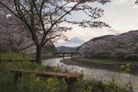 稲瀬川沿いの桜と富士山 02702000260| 写真素材・ストックフォト・画像・イラスト素材|アマナイメージズ