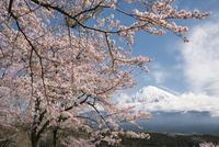 富士宮市より望む桜と富士山 02702000261| 写真素材・ストックフォト・画像・イラスト素材|アマナイメージズ