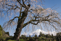 富士宮市より望む枝垂れ桜と富士山 02702000263| 写真素材・ストックフォト・画像・イラスト素材|アマナイメージズ