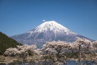 田貫湖より望む桜と富士山 02702000265| 写真素材・ストックフォト・画像・イラスト素材|アマナイメージズ