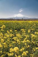 菜の花畑と富士山 02702000268| 写真素材・ストックフォト・画像・イラスト素材|アマナイメージズ
