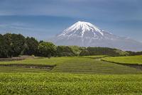 茶畑と富士山 02702000269| 写真素材・ストックフォト・画像・イラスト素材|アマナイメージズ