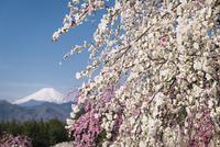 桃の花と富士山 02702000273| 写真素材・ストックフォト・画像・イラスト素材|アマナイメージズ