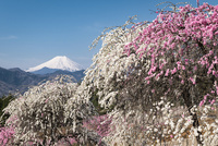 桃の花と富士山 02702000274| 写真素材・ストックフォト・画像・イラスト素材|アマナイメージズ