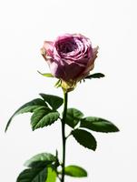 バラピンク 02738000073| 写真素材・ストックフォト・画像・イラスト素材|アマナイメージズ