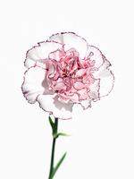 カーネーション白ピンク