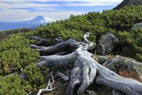 南アルプス北岳よりハイマツの彼方に富士山を望む
