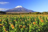 山中湖花の都公園よりヒマワリと富士山