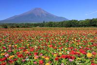 山中湖花の都公園より百日草と富士山